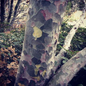 Discovered this fascinating camouflage tree (otherwise known as Lacebark Pine) during our day at the botanic gardens.
