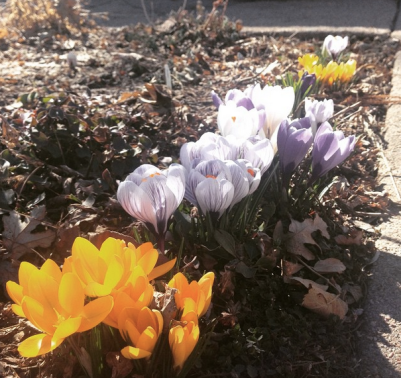Witnessed many signs of spring this week, including these flowers on my walk to brunch.
